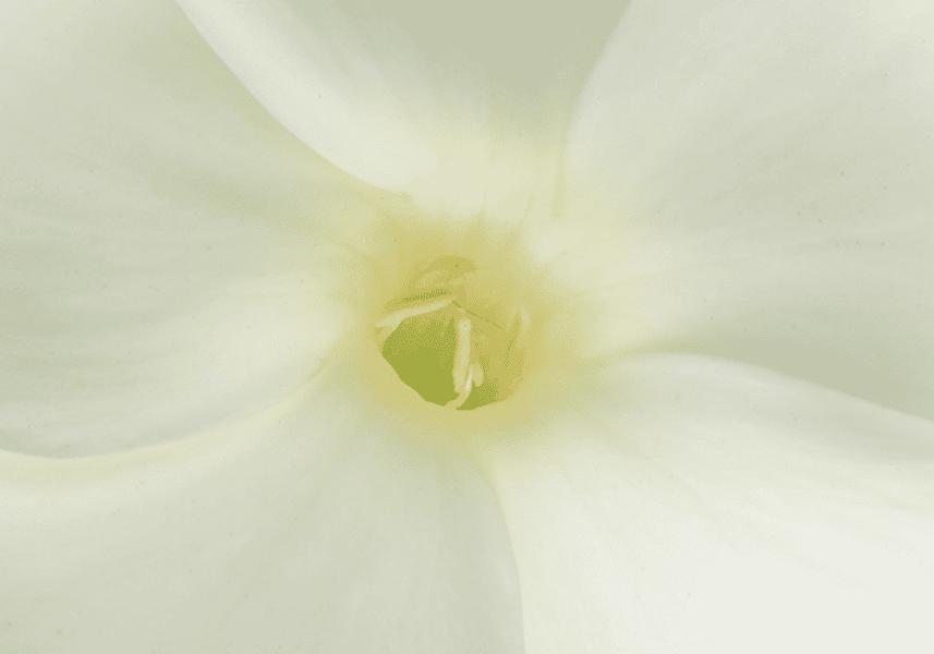 pistil de fleur blanche