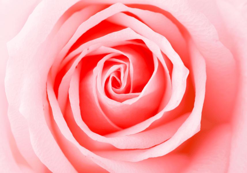 boutons de rose avec pétales
